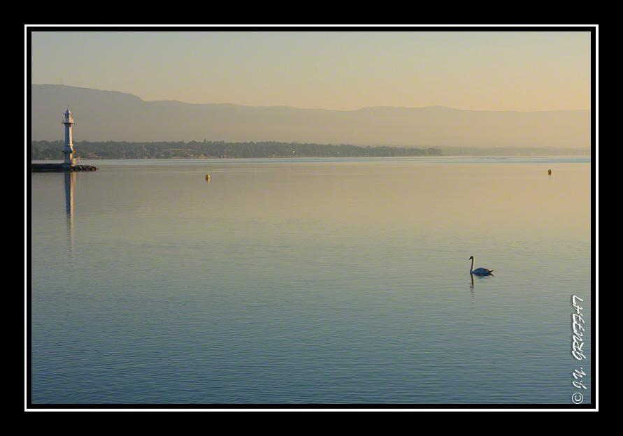 Cygne se dirageant vers la jetée des Paquis au lever du soleil
