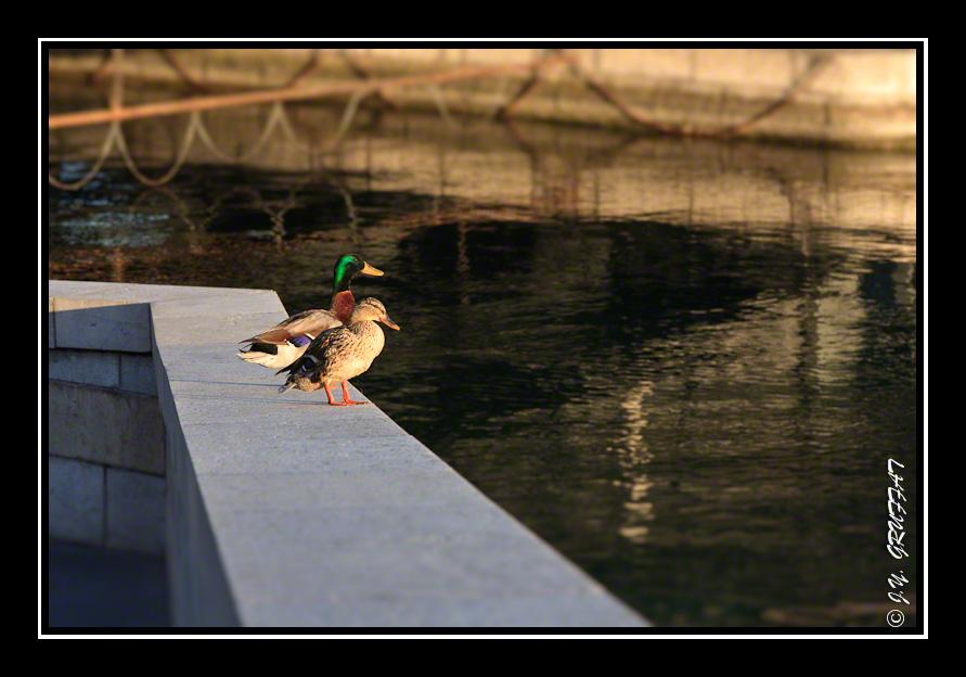 Canards en promenade matinale sous le Pont du Mont-Blanc