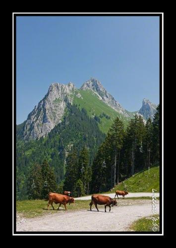 Vaches et Dent d'Oche